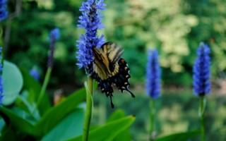 Butterfly at the Inn on Poplar Hill