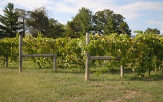 Grape Vines at Keswick Vineyard