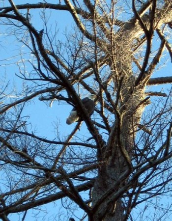 Eagle along the Rapidan River