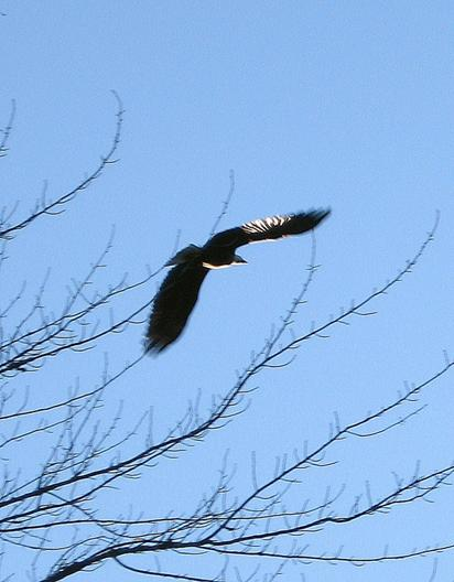 Eagle soaring above the Rapidan River