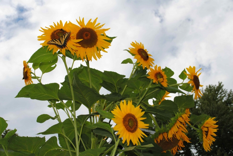 B&B Specials Sunflower growing at our Virginia Bed and Breakfast