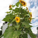 summer specials sunflowers at the Inn on Poplar Hill an Orange VA be and breakfast