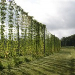 enjoy a picnic in our hops yard